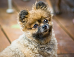 Tessa (tappit_01) Tags: dog cute girl puppy pomeranian