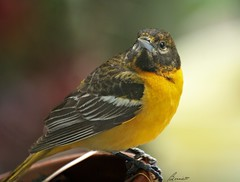 look who was peeping through my patio door! (bonnie5378) Tags: baltimoreoriole may10 worldnaturewildlifecloseup juvenileoriole throughmypatiodoor