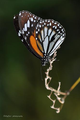 The Common Tiger (Dananus genutia genutia)-虎紋斑蝶