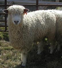 Wool-type ram
