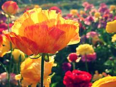 after the rain (zakzorah) Tags: light sun flower waterdrops farmerjohnsgreenhouse