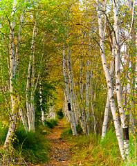 Path of the Birches (Ed Heaton Photography) Tags: maine workshop pathway acadia birches creativecomposition sieurdemonts