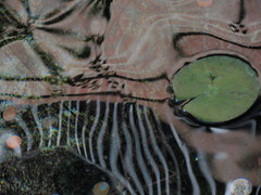 Nenuphar zebraique