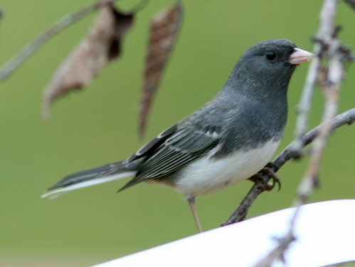 Dark-eyed Junco 2-20101025