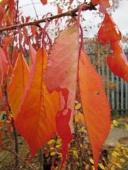 Prunus 'Shirotae' (wallygrom) Tags: autumn england fall leaves fallcolor westsussex autumnleaves foliage prunus angmering autumncolour floweringcherry manornursery manornurseries