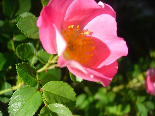 rose (by lauraloops)
