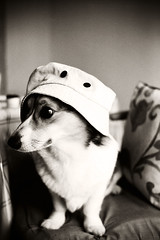 #01 model (moaan) Tags: bw dog film hat 50mm corgi indoor 2007 myhat mybestmodel kodakretina2c pochiko schneiderxenon bestpartner portraitforpractice gettyimagesjapanq1 gettyimagesjapanq2
