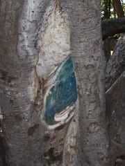 100_0316 (FruityHatLady) Tags: trees maui banyantree