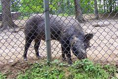 "European wild boar (rcvernors) Tags: animal geotagged zoo wildlife wv westvirginia boar wildboar frenchcreek county"" rcvernors frenchcreekgamefarm ""upshur europeanwildboar westvirginiastatewildlifecenter"