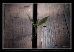 Break Free (winterhalo) Tags: wood macro nature leaves hope decay live grain gap growing alpha tamron 90mm sprout a100