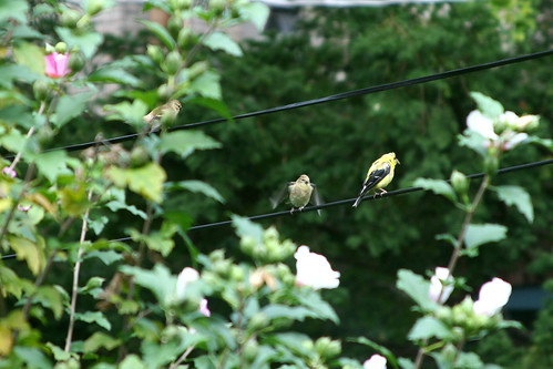 Goldfinch and kids