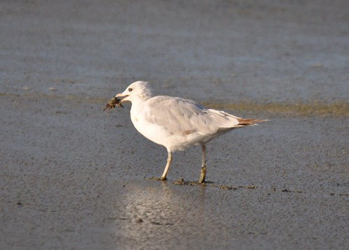 Ring-billed Gull with crab