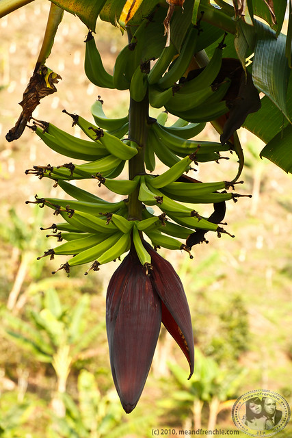 Plantains And Its Flower