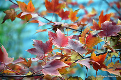 Leaves (Rafakoy) Tags: city autumn ny newyork color colour fall colors leaves digital season leaf colours image centralpark manhattan images sample circularpolarizer afsnikkor18105mmvr nikond7000