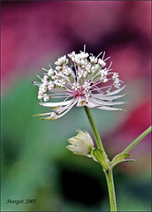 Astrantia. (Margot) Tags: flower garden spring seasons astrantia zeeuwsknoopje supershot margotpouw margot