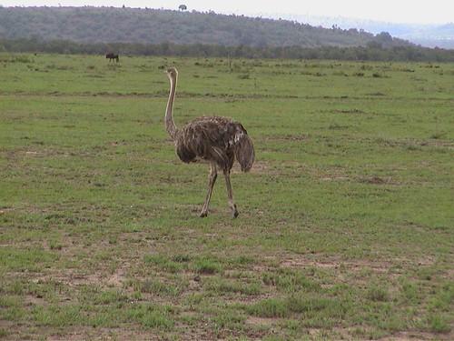 Mara Ostrich Solo