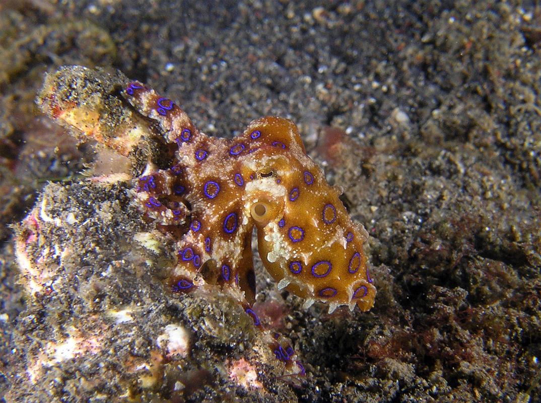 Firefly Squid