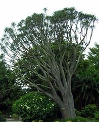 Aloe Vera tree