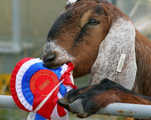 When Is Goat's Milk Spoiled?