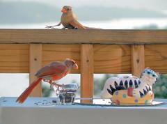 Drunk Cardinal Crashes the Party... (Lollie Dot Com) Tags: bird cat cardinal landing juvenile cardinals lolliedotcompix abigfave dontdrinkandfly lmaoanimalphotoaward cardinaljuvenile cardinalsskidding stopcrash p1300675nnccrop2