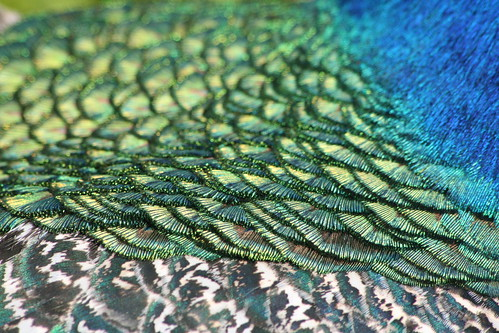 Close up of a Peacock's Feathers