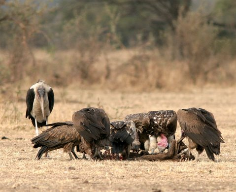 Vultures at the kill with a marabour stork