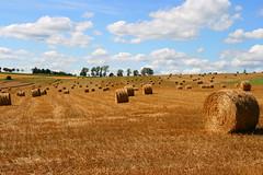Champ de blé moissonné - by Eisenheim.