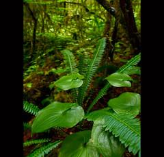Rainforest Bouquet (Tim Ennis) Tags: old plants canada fern green vancouver forest ilovenature island tim moss rainforest lily bc floor deer growth valley ennis false timennis