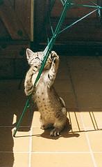 Baby Mixa (visol) Tags: cat gata chatte mixa tickedtabby thebiggestgroupwithonlycats escàner