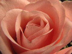 Whats in a name? That which we call a rose / By any other name would smell as sweet ( Popotito ) Tags: camera pink naturaleza flower nature beautiful rose photography photo petals perfect dof natural photos exploring awesome details flor rosa fresh explore textures linda definition preciosa nophotoshop lovely straight fotografia untouched marvelous rosada romeoandjuliet fotografo intact williamshakespeare nomanipulation petalos perfecta maravillosa sinretoques popotito sinmanipulacion