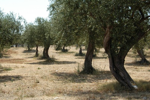 Olive Trees - Alghero, Sardinia by Nathan deGargoyle, on Flickr