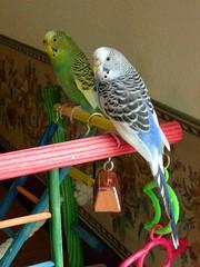 treasureandlhs01 (PhotoPieces) Tags: birds budgie parakeet ilovebirds