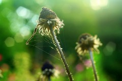 Shroud (Many Muses) Tags: morning flowers autumn plants home garden dead coneflowers echinacea bokeh walk decay neglected spiderweb manymuses canon350d wwwmanymusescom natureycrap