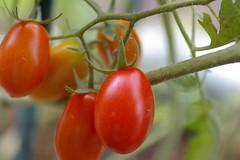 わき芽の挿し芽のミニトマト
