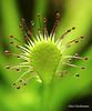 Reverso (Alex Hackmann) Tags: plant macro planta canon 50mm photo foto g6 sundew carnivorous carnivorousplant plantacarnívora carnívora canonpowershotg6 droseraintermedia reverso mywinner 50mminvertido drósera intermédia