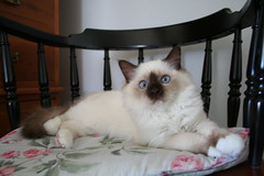 Lovie Sept.23 (1) (booyahchamp) Tags: blue pet cats pets cat point eyes kitten chocolate burma kittens sacred birman