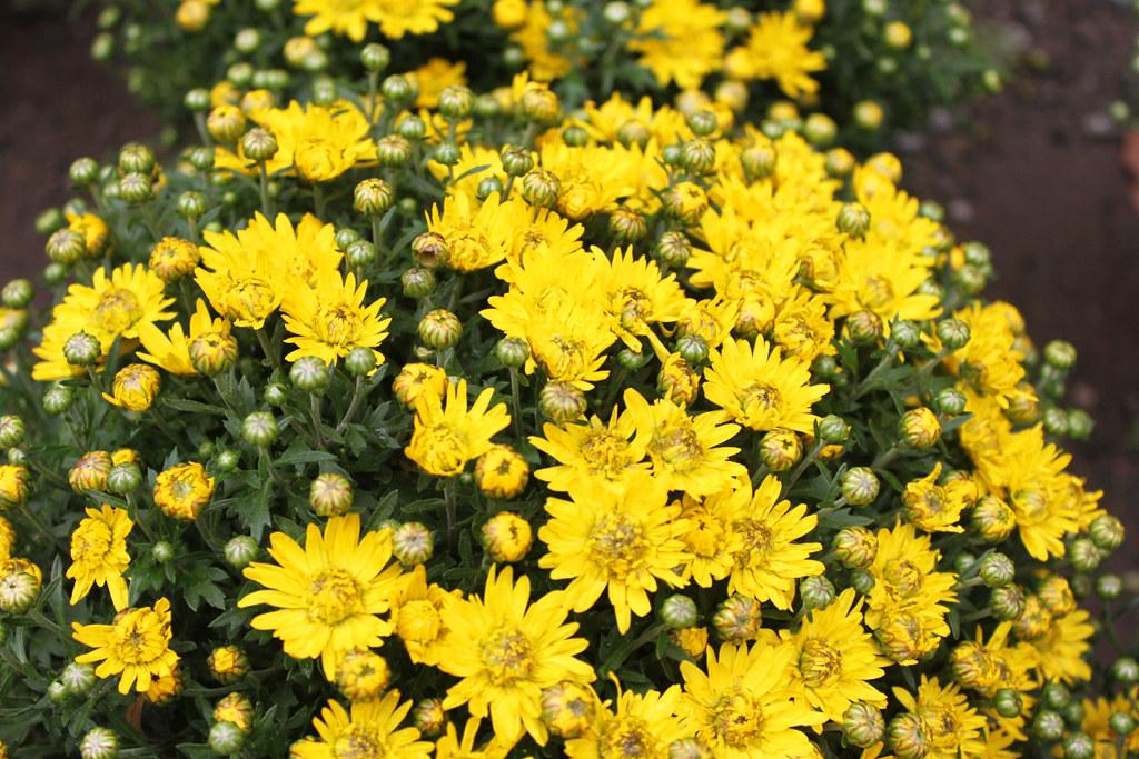 Yanaka Chrysanthemum Festival (6)