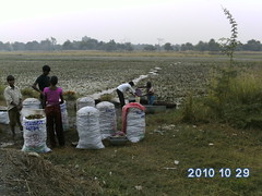 Growers of Water Caltrop [Trapa natans], Singhara, in wetland area, Sarsai Nawar