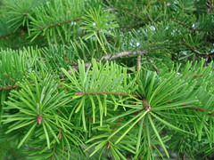 Needles (mag3737) Tags: pine branches needles