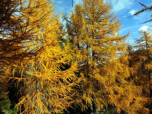6 L'or des mélèzes Mt Charvin