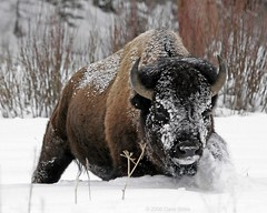 Bison bison in the snow (Dave Stiles) Tags: fab nature wildlife explore yellowstonenationalpark yellowstone bison outpost stiles specanimal platinumphoto impressedbeauty yellowstonewildlife truewildlifeimages empyreananimals naturewatcher natureoutpost bfgreatesthits theperfectphotographer goldwildlife msanimal multimegashot qemdfinchfaveforaugust2008