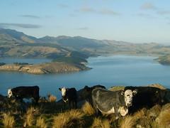 Mooo! (Jane A Keats) Tags: blue sea newzealand blackandwhite white mountains water grass port landscape island bay coast stand scenery cows 5 five hills balck tufts steers penninsular blueribbonwinner pointandclick cotcpersonalfavorite imagesofharmony