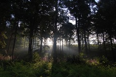 Mid summer morning (Lets Bike It (Howard D Mattinson in Canonbie)) Tags: morning trees sun sunlight pine backlight scotland midsummer stock grasses sunbeam shaft stockphoto foxgloves stockphotography dumfriesshire canonbie stockfoto hdmattinson howarddmattinson