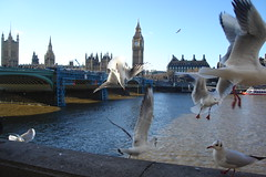 seagulls by the thames (carrie227) Tags: uk bridge england seagulls london westminster birds thames wings bigben clocktower parliment divebombing pointandclick pointandclickcamera barbash