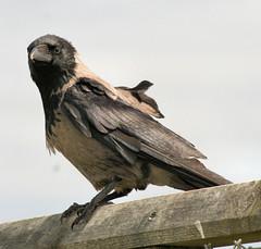 Hooded Crow - Corvus cornix (foxypar4) Tags: brown black fence grey scotland feathers perch crow sutherland coolest dornoch plumage hooded hoodedcrow corvuscornix parkstock splendiferous beachcarpark