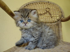 Kitten on the chair : the return (catherine.caf) Tags: fab cat persian kitten chat chaton selfpleasure persan cc400 cc300 cc200 cc100 cc500 kissablekat bestofcats lifebeautiful irresistiblebeauty superbmasterpiece flickrdiamond pet100 ilovemypics