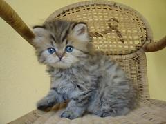 Kitten on the chair : the return (catherine.caf) Tags: fab cat persian kitten chat chaton selfpleasure persan cc400 cc300 cc200 cc100 cc500 kissablekat bestofcats lifebeautiful irresistiblebeauty superbmasterpiece flickrdiamond pet100 ilovemypics