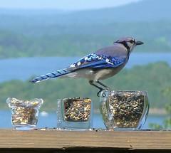 Blue Jay Hood Ornament (Lollie Dot Com) Tags: blue bird jay bluejay naturesfinest beautifulidiot lolliedotcompix impressedbeauty bluejayvogue bluejaypretendinghesahoodornamentonacar p1280506nnccrop