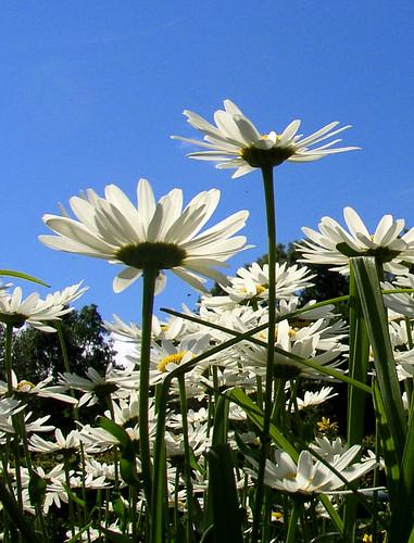 prästkragar ~ daisies by Per Ola Wiberg ~ Powi
