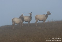Tule Elk in Fog (leapin26) Tags: california fog wildlife elk tomalespoint ptreyes pointreyesnationalseashore naturesfinest tuleelk holidaysvancanzeurlaub
